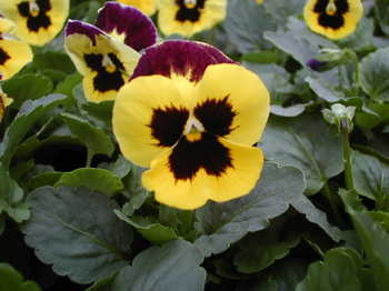 pansy20041014/20041014